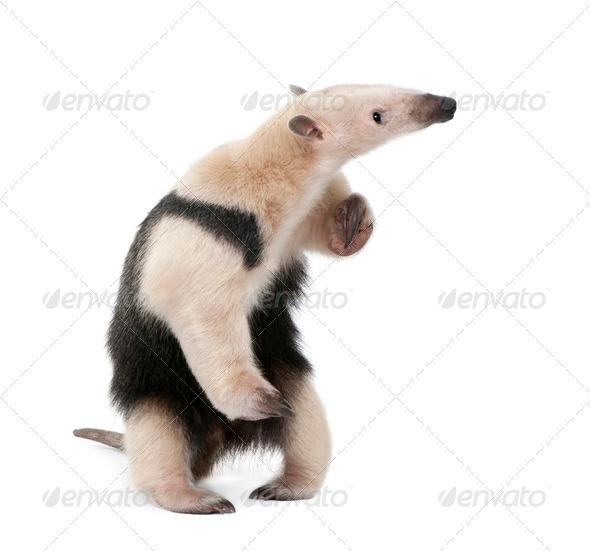 Collared Anteater, Tamandua tetradactyla, standing in front of white background, studio shot - Stock Photo - Images