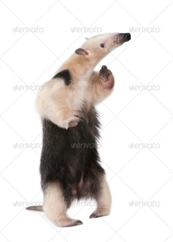 Collared Anteater - Tamandua tetradactyla - Stock Photo - Images