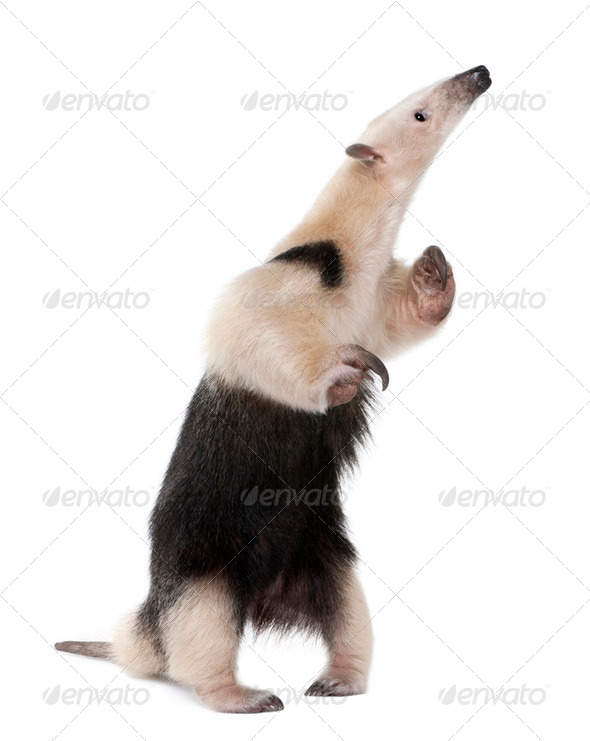 Collared Anteater standing on hind legs, Tamandua tetradactyla, in front of white background - Stock Photo - Images
