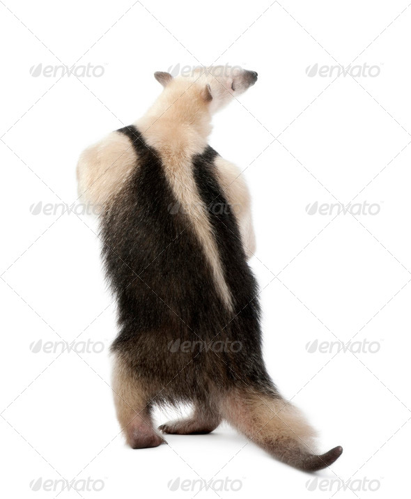 Rear view of Collared Anteater, Tamandua tetradactyla, standing in front of white background - Stock Photo - Images