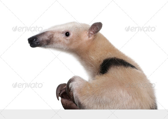Collared Anteater going out from behind a grey blank panel - Tamandua tetradactyla - Stock Photo - Images