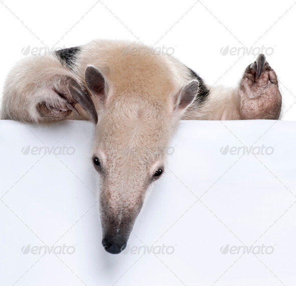 close-up on a Collared Anteater looking down - Tamandua tetradactyla - Stock Photo - Images