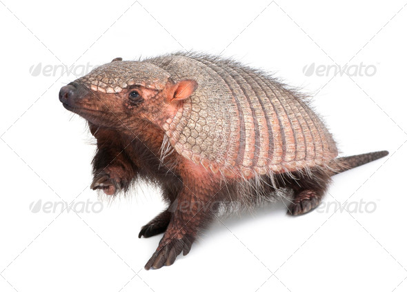 Armadillo - Dasypodidae - Cingulata - Stock Photo - Images