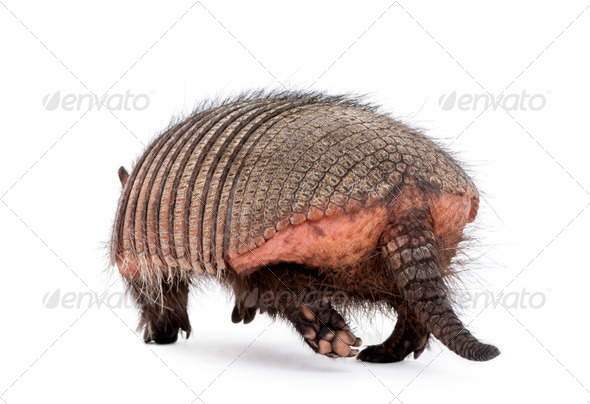 Rear view of Armadillo, Dasypodidae Cingulata, walking in front of white background - Stock Photo - Images