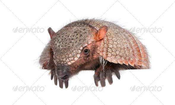 Portrait of Armadillo -  Dasypodidae Cingulata, studio shot - Stock Photo - Images