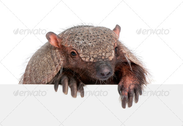 Armadillo going out from behind a blank panel - Stock Photo - Images