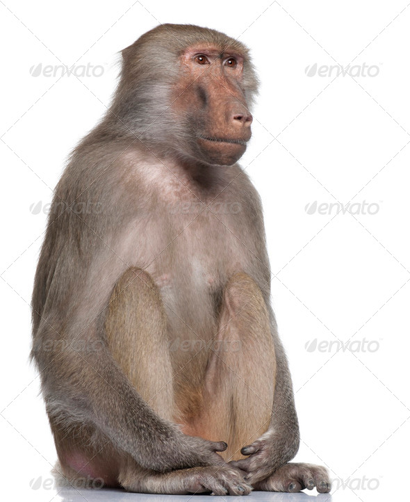 Baboon  -  Simia hamadryas - Stock Photo - Images