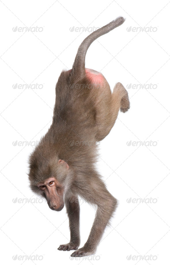 Baboon performing a hand stand -  Simia hamadryas - Stock Photo - Images