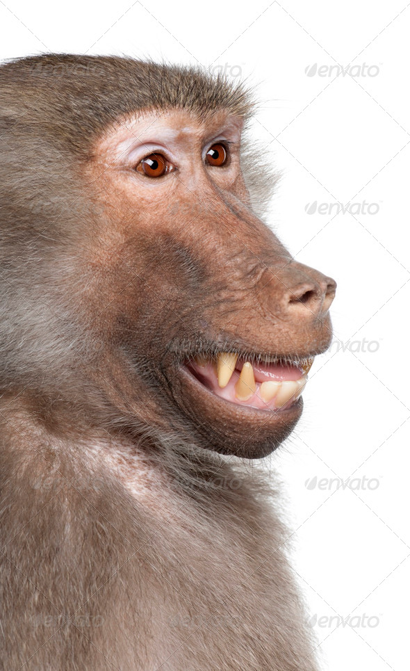 Close-up on a Baboon's head -  Simia hamadryas - Stock Photo - Images