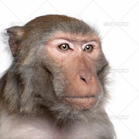 Rhesus Macaque - Macaca mulatta - Stock Photo - Images