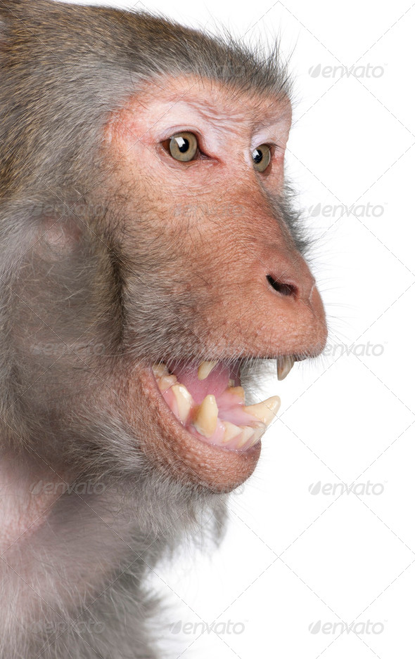 Rhesus Macaque - Macaca mulatta - Stock Photo - Images