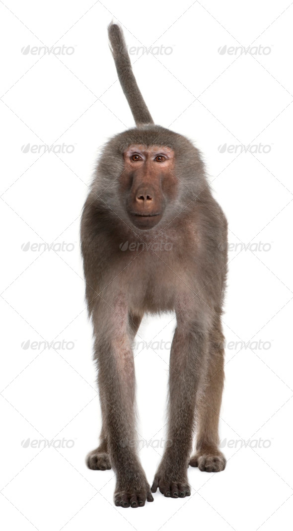Portrait of Baboon, Simia hamadryas, standing in front of white background, studio shot - Stock Photo - Images