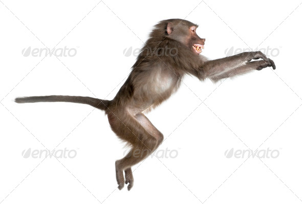 side view of a Baboon jumping -  Simia hamadryas - Stock Photo - Images
