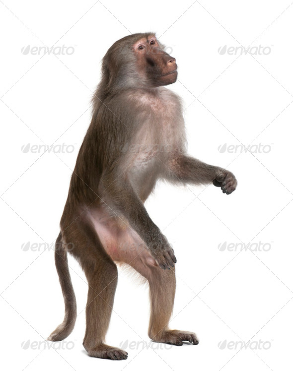 Baboon standing up -  Simia hamadryas - Stock Photo - Images