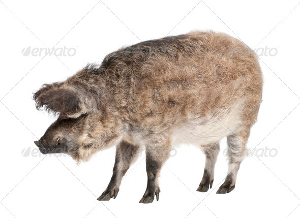 Mangalitsa or curly-hair hog - Stock Photo - Images