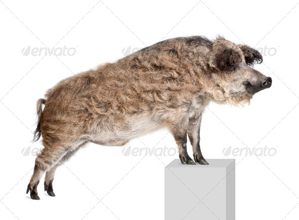 Mangalitsa or curly-hair hog standing on pedestal in front of white background, studio shot - Stock Photo - Images