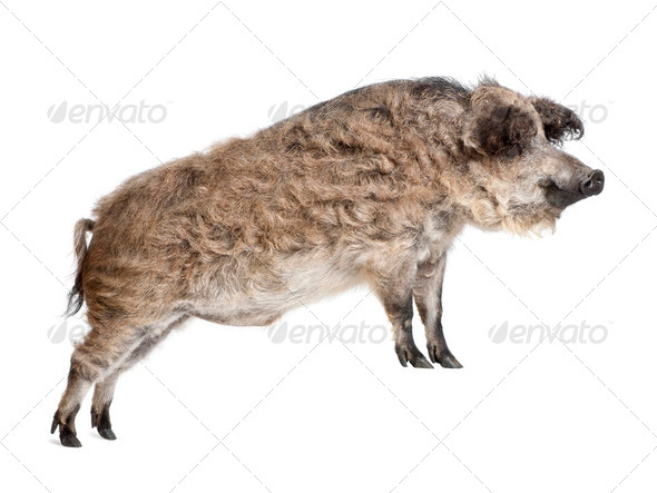 Mangalitsa or curly-hair hog standing in front of white background, studio shot - Stock Photo - Images
