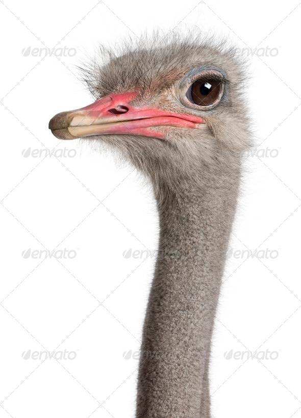 close-up on a ostrich's head - Stock Photo - Images