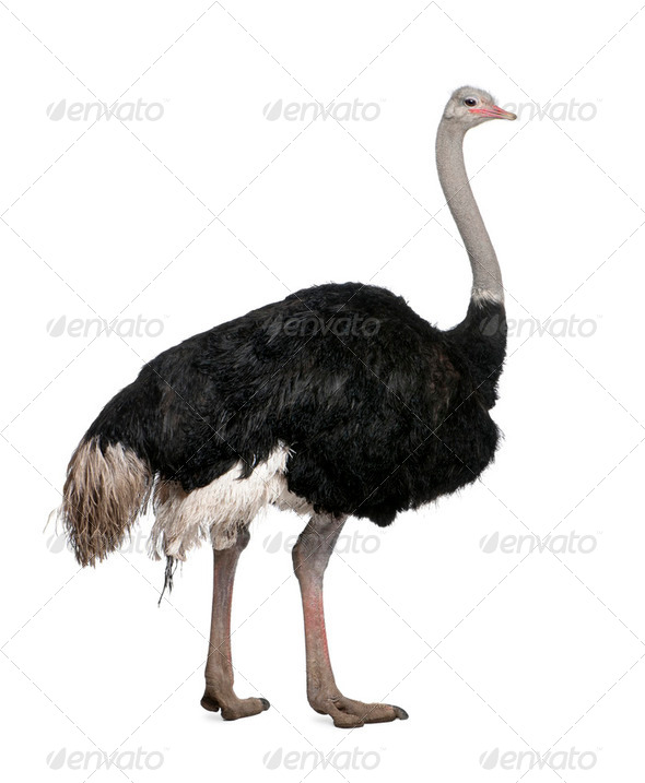 Male ostrich, Struthio camelus standing in front of a white background, studio shot - Stock Photo - Images