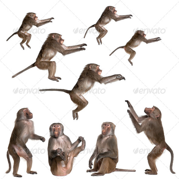 many views of Baboon in differents size and position - Stock Photo - Images