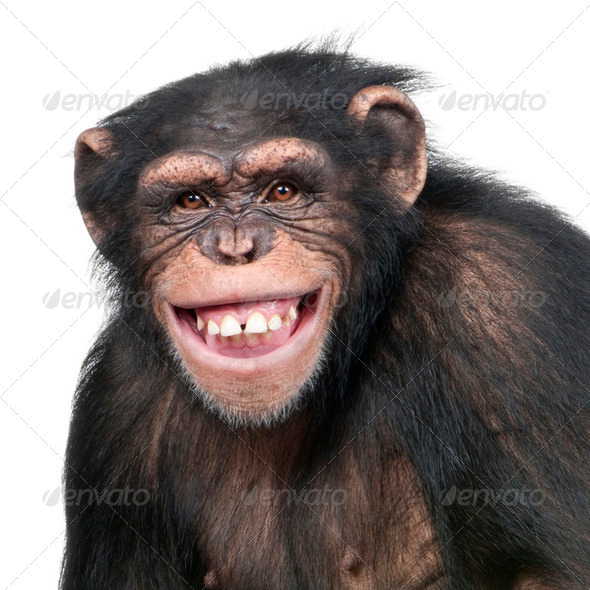 Young Chimpanzee - Simia troglodytes (6 years old) - Stock Photo - Images