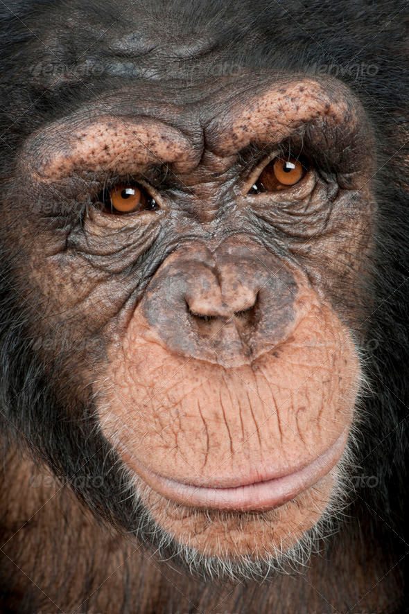 Close-up on a head of a Young Chimpanzee - Simia troglodytes (5 years old) - Stock Photo - Images