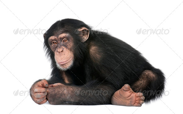 Young Chimpanzee - Simia troglodytes (5 years old) - Stock Photo - Images