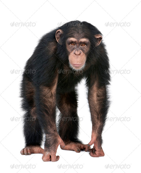 Young Chimpanzee looking at the camera - Simia troglodytes (5 years old) - Stock Photo - Images