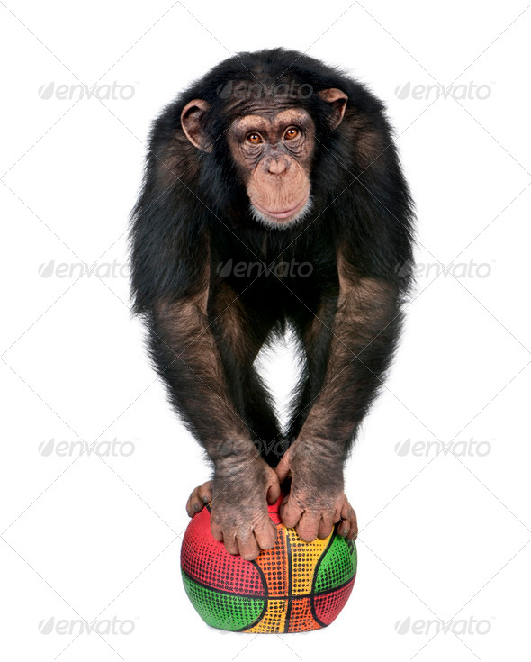 Young Chimpanzee playing with a ballon - Stock Photo - Images