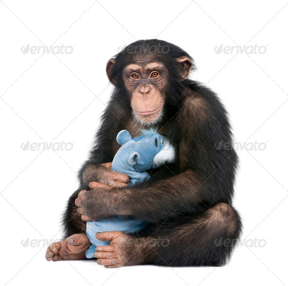 Young Chimpanzee with his teddy bear- Simia troglodytes (5 years old) - Stock Photo - Images