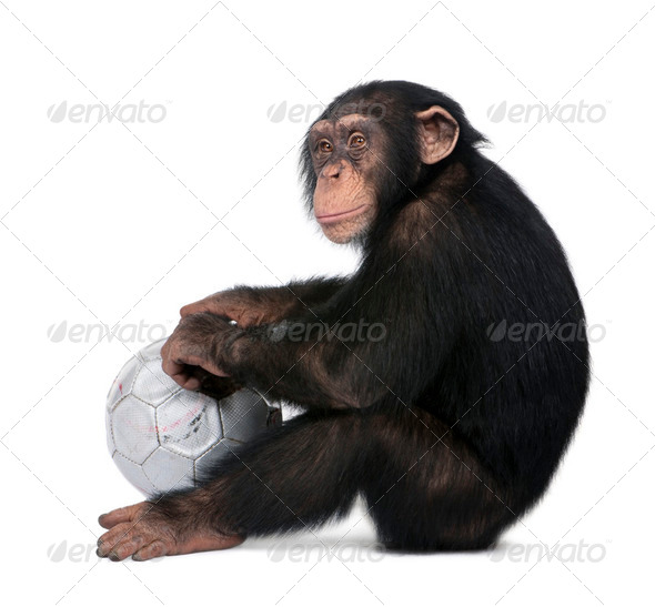 side view of a Young Chimpanzee and his ball - Simia troglodytes (5 years old) - Stock Photo - Images
