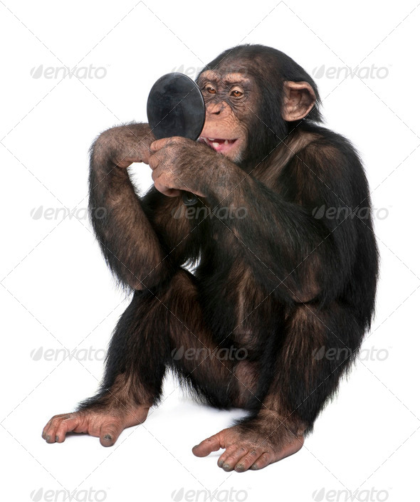 Young Chimpanzee looking himself at the mirror - Simia troglodytes (5 years old) - Stock Photo - Images