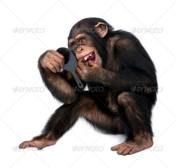 Young Chimpanzee looking at his teeth in a mirror - Simia troglodytes (5 years old) - Stock Photo - Images