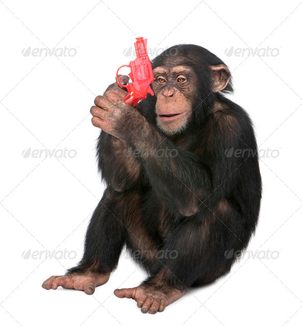 Young Chimpanzee playing with a gun (5 years old) - Stock Photo - Images