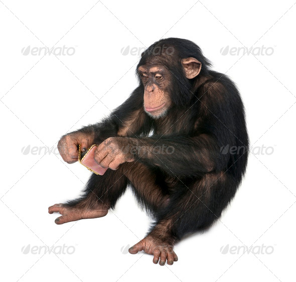 Young Chimpanzee looking himself at the pocket mirror - Simia troglodytes (5 years old) - Stock Photo - Images