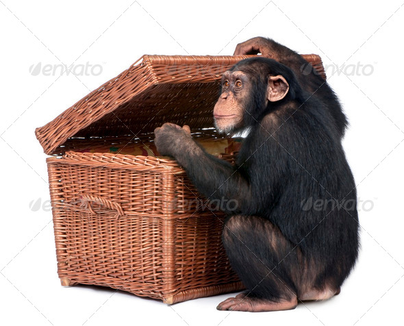 Young Chimpanzee looking into a chest - Stock Photo - Images