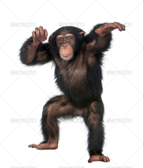Young Chimpanzee dancing - Stock Photo - Images