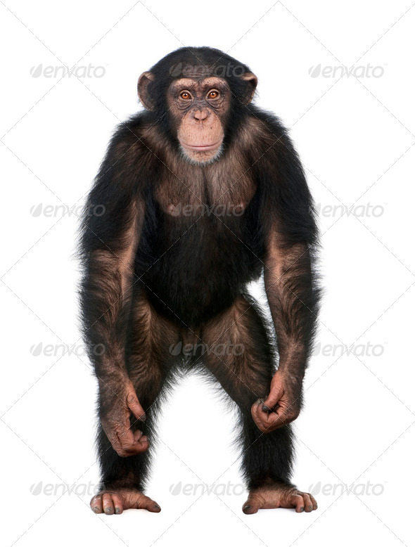Young Chimpanzee standing up like a human - Simia troglodytes (5 years old) - Stock Photo - Images