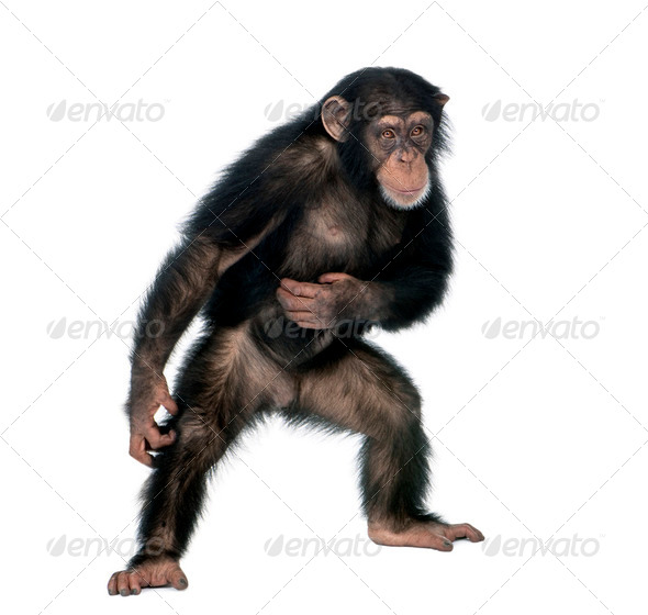 Young chimpanzee, Simia Troglodytes, 5 years old, standing in front of white background, studio shot - Stock Photo - Images
