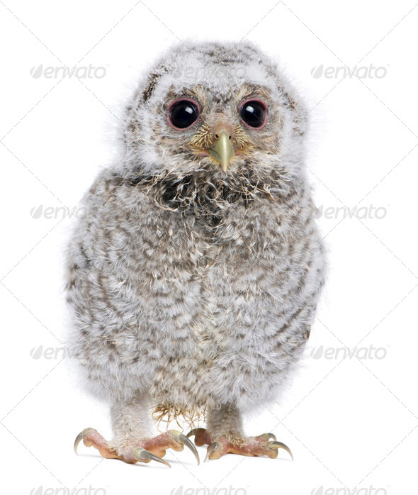 baby Little Owl - Athene noctua (4 weeks old) - Stock Photo - Images