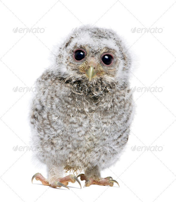 front view of a owlet looking at the camera - Athene noctua (4 weeks old) - Stock Photo - Images