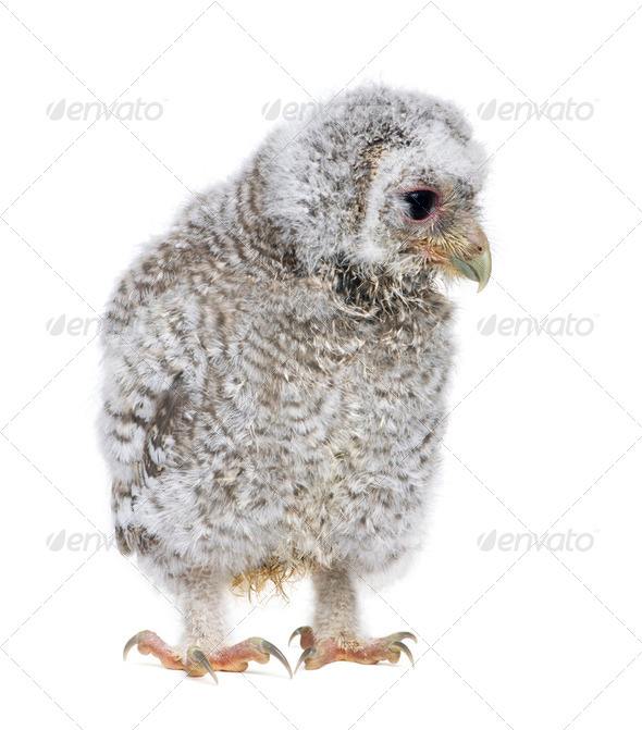 owlet- Athene noctua (4 weeks old) - Stock Photo - Images