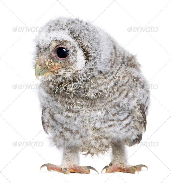 owlet- Athene noctua (4 weeks old) - Stock Photo - Images