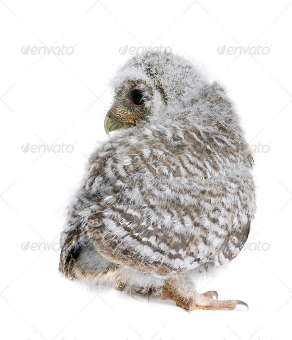 Baby Little Owl, 4 weeks old, Athene noctua, in front of a white background - Stock Photo - Images