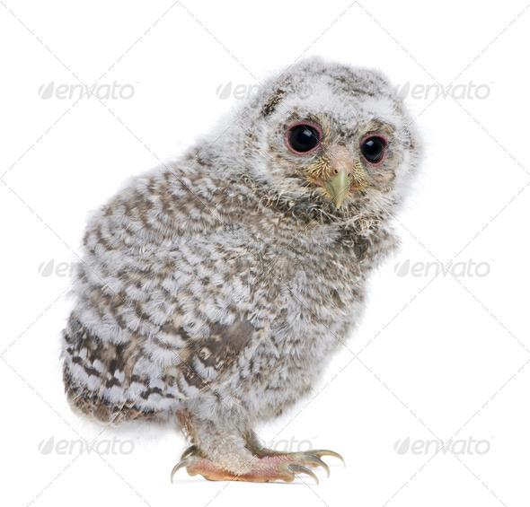 side view of a owlet - Athene noctua (4 weeks old) - Stock Photo - Images