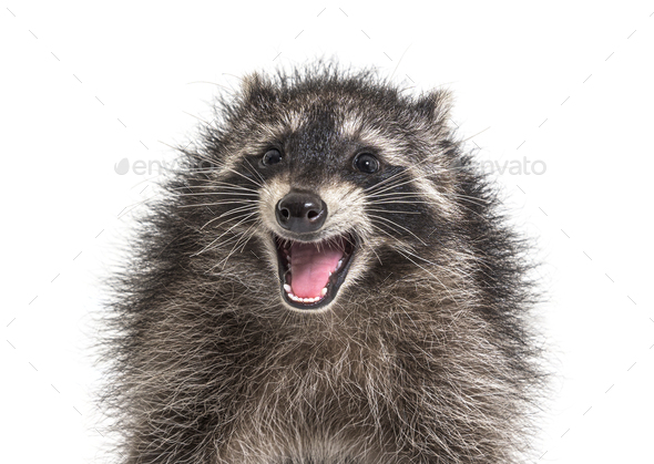 Portrait of a young raccoon mouth open. Weird expression - Stock Photo - Images