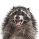 Portrait of a young raccoon mouth open. Weird expression - PhotoDune Item for Sale