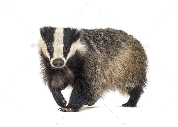 European badger walking towards the camera, six months old, isol - Stock Photo - Images