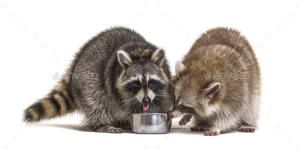 Two raccoons eating from a dog bowl - Stock Photo - Images
