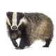European badger walking towards the camera, six months old, isol - PhotoDune Item for Sale